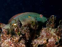 Parrotfish at the cleaners