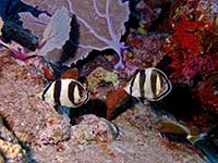 Pair of Banded Butterflyfish