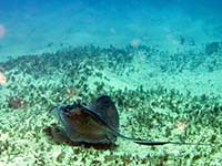 Southern Stingray off Creole Rock