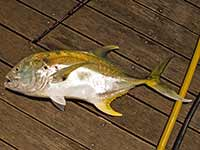 Yellow jack caught at the docks