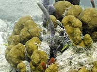 Gobies in the Coral