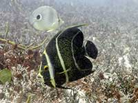 French Angelfish and Foureye Butterflyfish