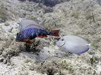 Redband Parrotfish and Ocean Surgeaonfish