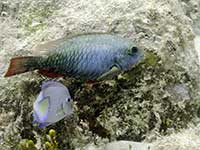 Redtail Parrotfish and Damselfish