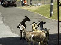 Goats on Charlestown's streets