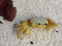 Sandy Cay Crab